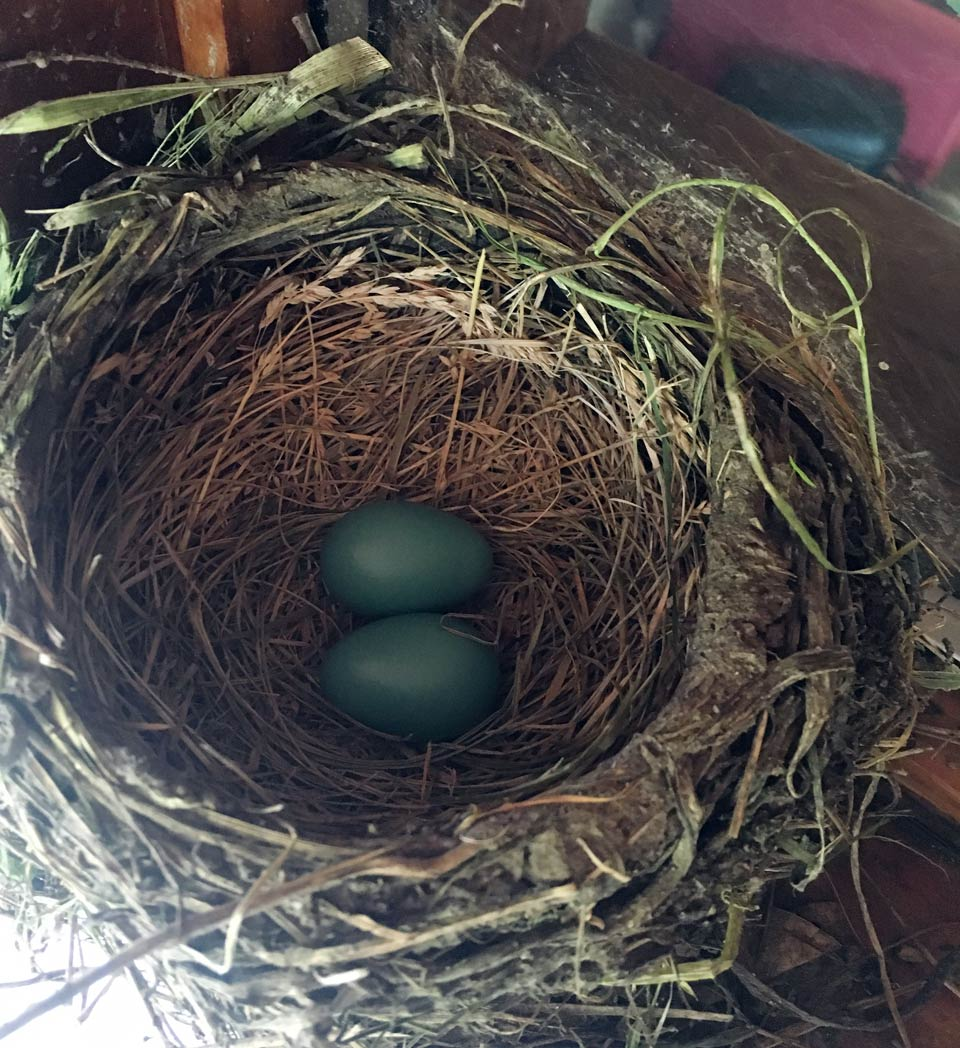 Two Robin's eggs in a nest